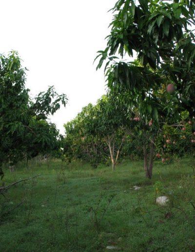 IMG_1448 mango 1