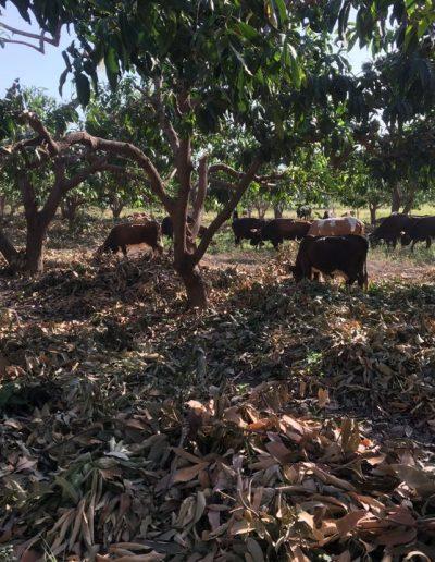 IMG_1654 vacas mango